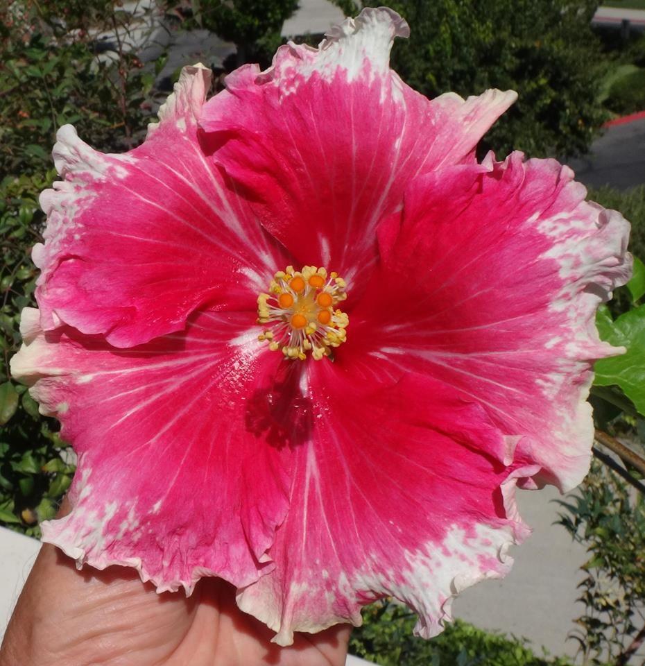 Wild At Heart Beautiful Flowers Hibiscus Flowers Hibiscus