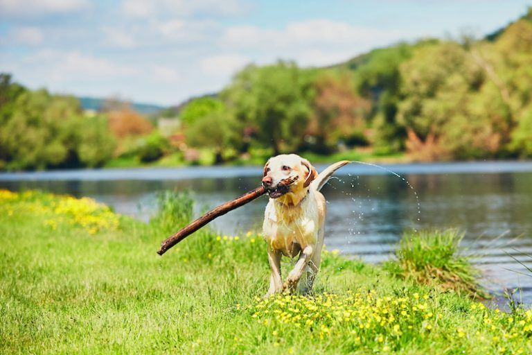 What Pet Parents Need To Know About Leptospirosis In Dogs In 2020 Dogs Pet Parent Dog Images