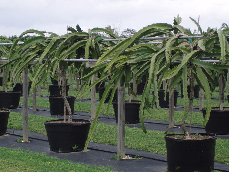 Growing dragon fruit in containers san diego pitaya for Best flowers to grow in california
