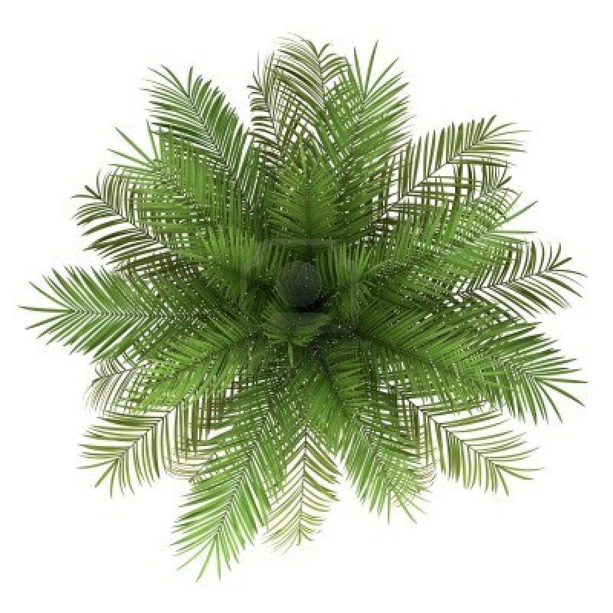 fern top view - Szukaj w Google | Plants inspiration | Pinterest | Fern for Palm Tree Top View Png  54lyp