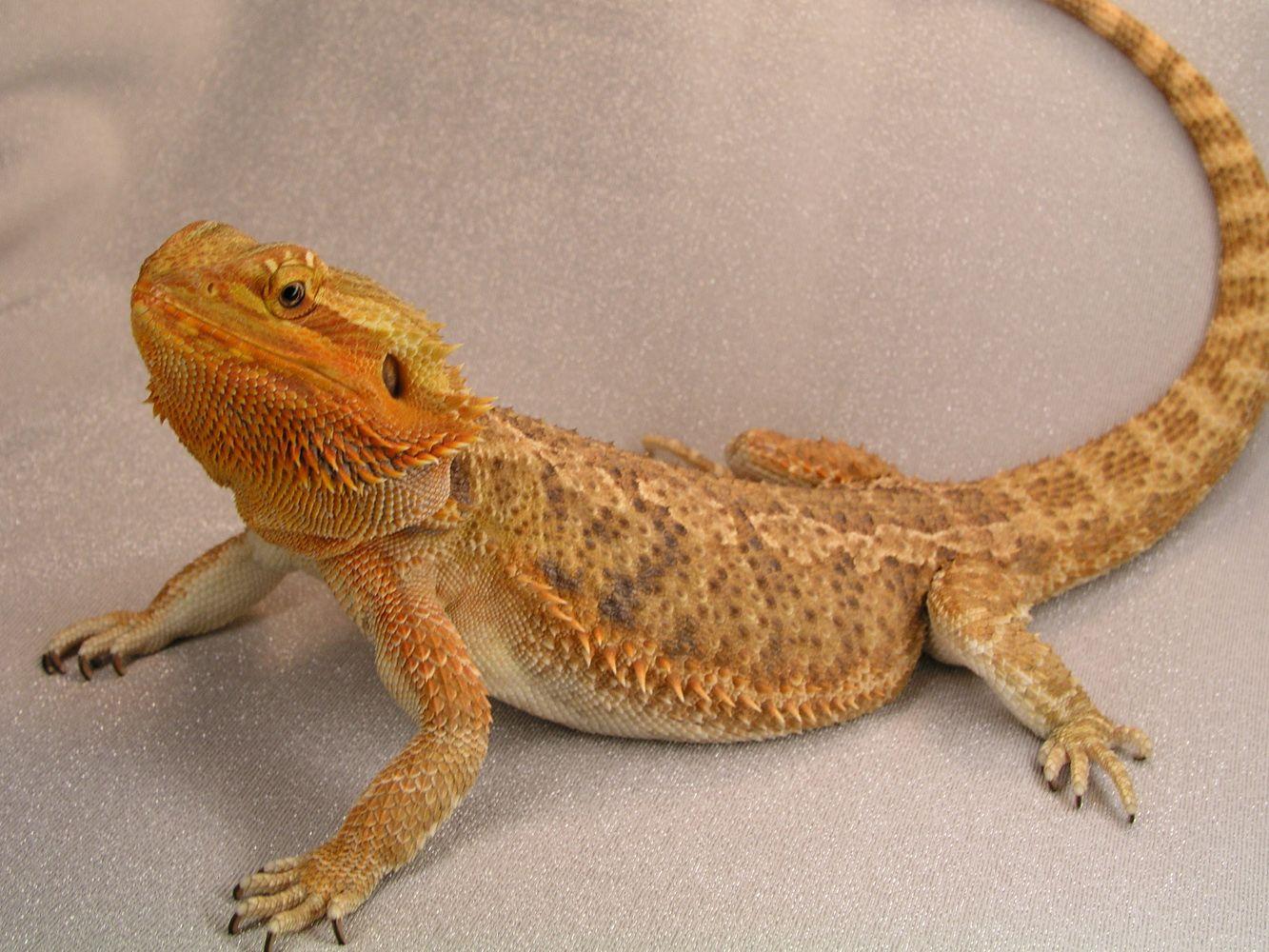 bearded dragon that looks just like mine