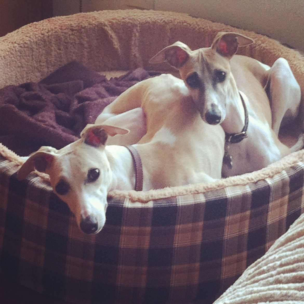 my whippets i love them!!!