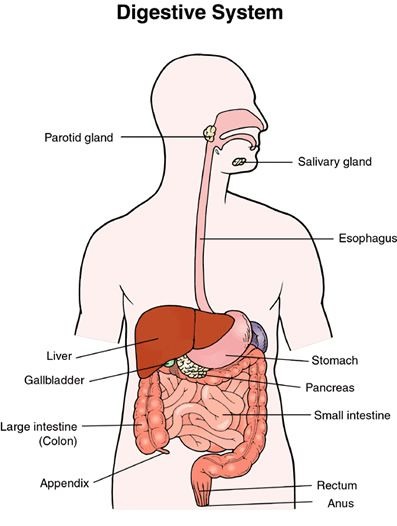 How Does The Circulatory System Interact With The Digestive System