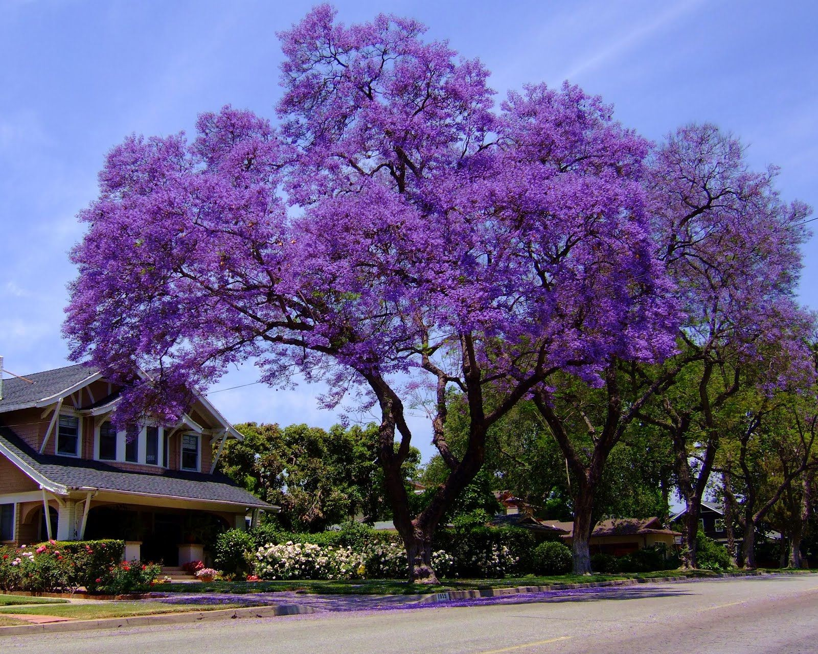 Jacaranda trees pinterest gardens plants and landscaping shop our seed store for the best selling royal empress tree seeds for sale our low tree seed prices cheap shipping and expert dhlflorist Image collections
