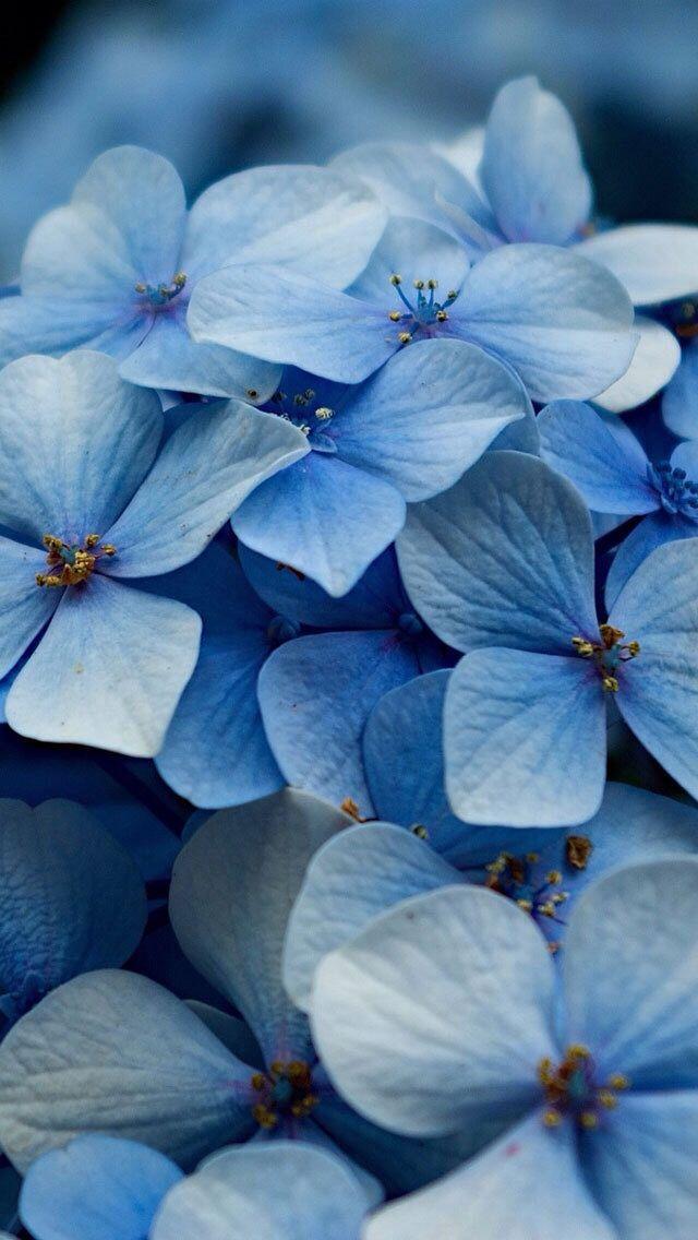 Wallpaper Hydrangea Macrophylla Blu Ortensia Bellissimi Fiori