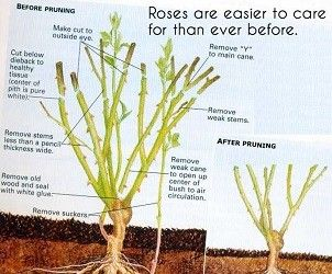 When to cut back rose bushes
