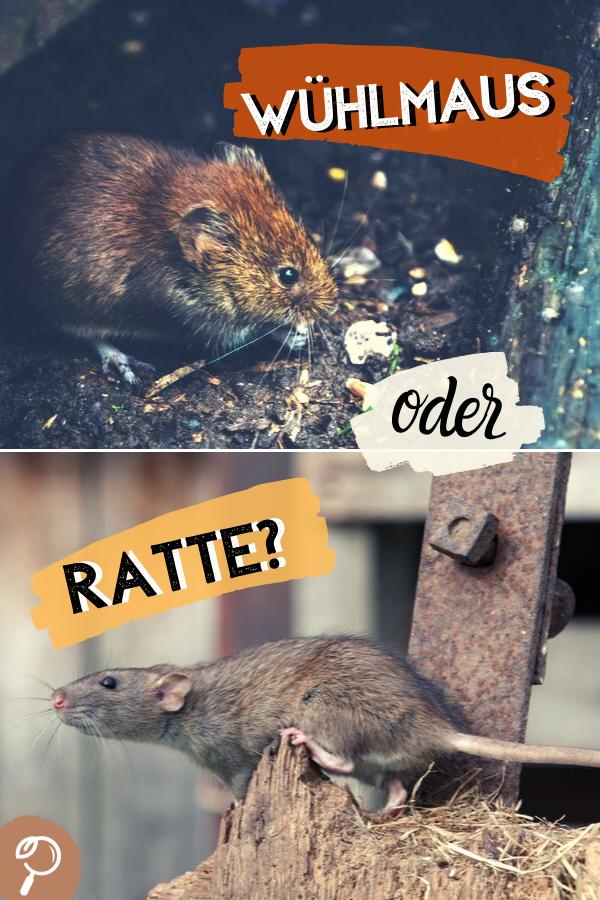 Wuhlmaus Oder Ratte So Erkennen Sie Die Unterschiede Ratten Vertreiben Ratte Tiere