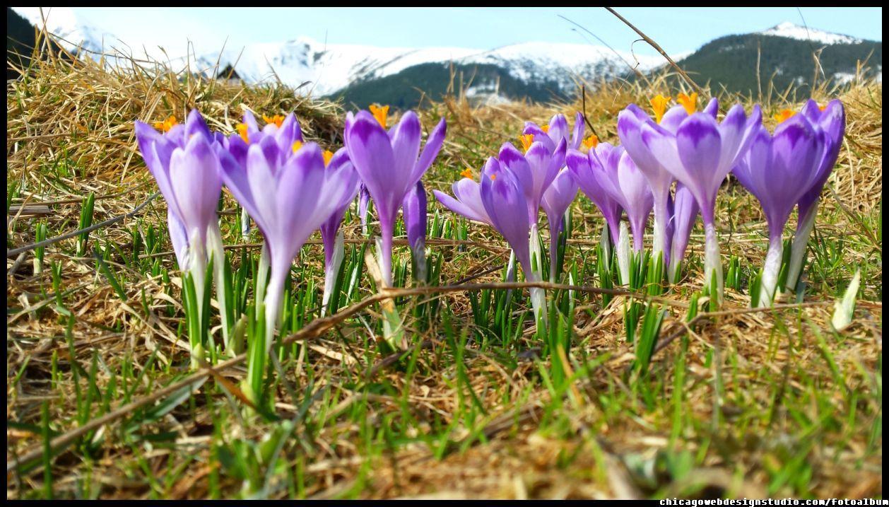 Tatry Krokusy Crocuses Crocus Plants Image
