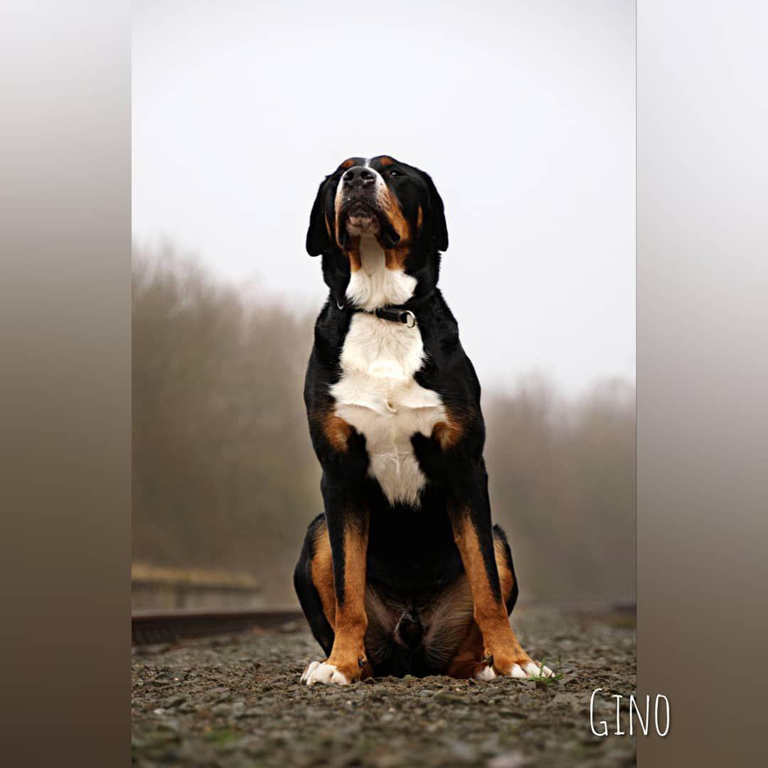 Gino Grosser Schweizer Sennenhund Beim Shooting Anfang Des Jahres Schon War S Wird Endlich Wieder Zeit In 2020 Swiss Mountain Dogs Greater Swiss Mountain Dog Dogs