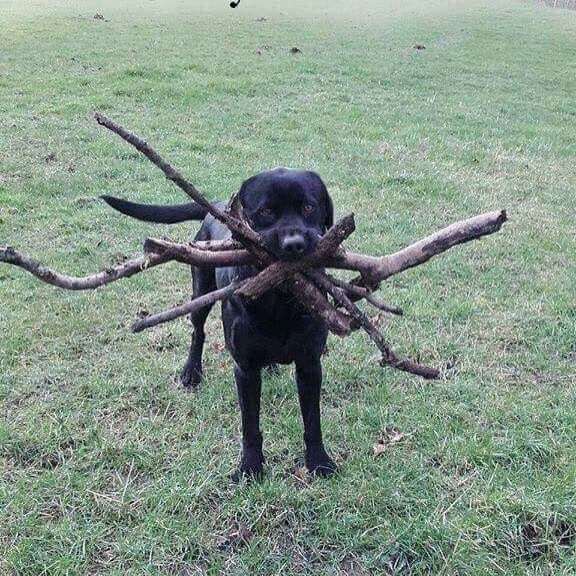 I didn't know which stick you threw so I got them all #funny #dogs #petlovers