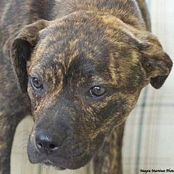 Homewood, AL - Plott Hound. Meet Star a Pet for Adoption. #plotthound