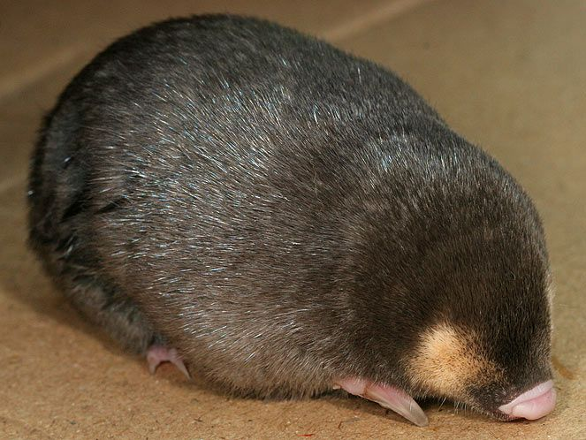 Golden Moles are the only known iridescent mammals