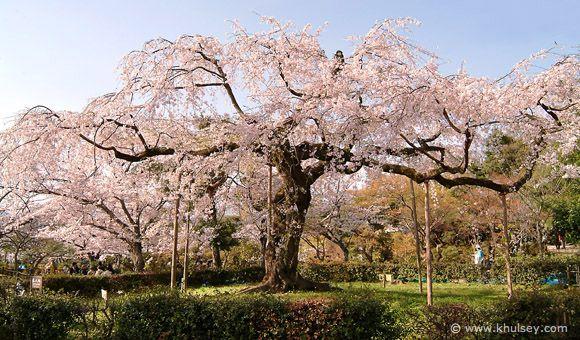 Shidare Sakura Weeping Cherry Blossom Tree At Maruyama Park Sakura Tree Cherry Blossom Tree Beautiful Pictures