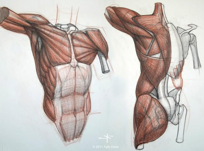 Image result for study of upper back drawing | Anatomy: Upper Body ...