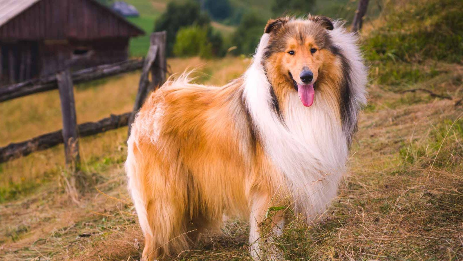Rough Collie Puppies For Sale In Ny Https Ift Tt 35yopek In 2020 Collie Puppies For Sale Rough Collie Puppy Collie Puppies