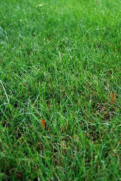 Grow a Healthy Lawn by Using Weeds as Lawn Problem Indicators...