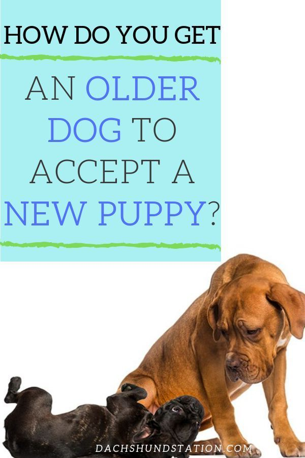 6 Easy Ways To Introduce A New Puppy To Your Older Dog - Dachshund Station