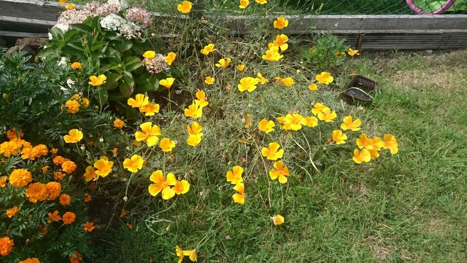 California poppies look gorgeous in any garden.