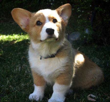 Pembroke Welsh Corgis Info Facts Temperament Puppies Pictures