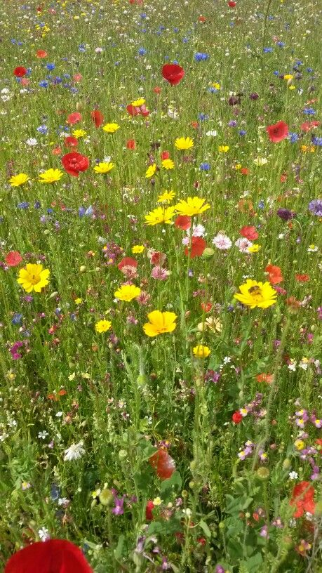 Wild flowers meadow at Ickworth House in Suffolk, England. This looked so pretty in August 2015.