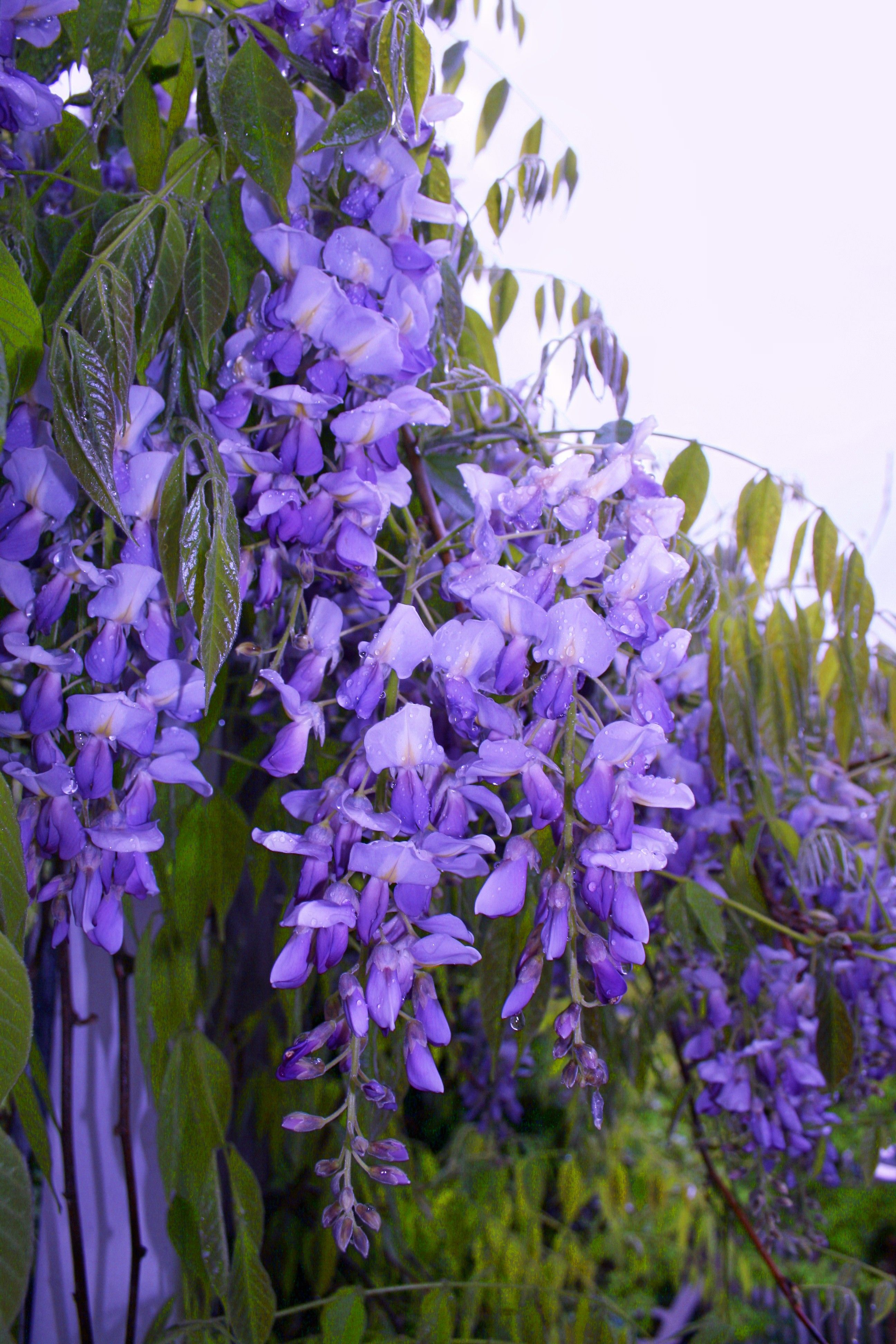 Wisteria Google Search With Images Flower Landscape