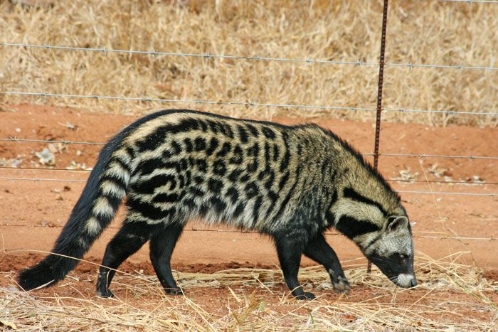 Image result for civets