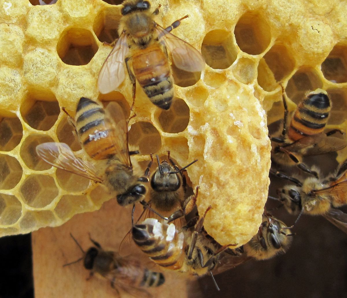 Life Cycle of the Queen Honey Bee   Miel