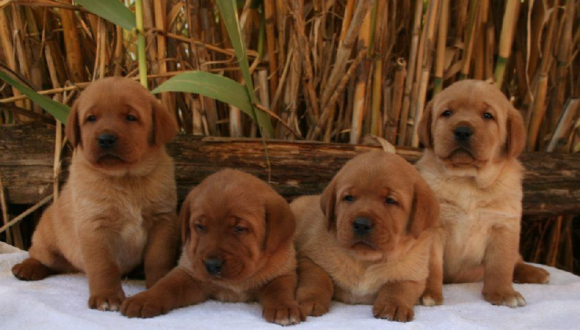 Red Fox Labrador Puppies Labrador Retriever Labrador Puppies For Sale Labrador Puppy