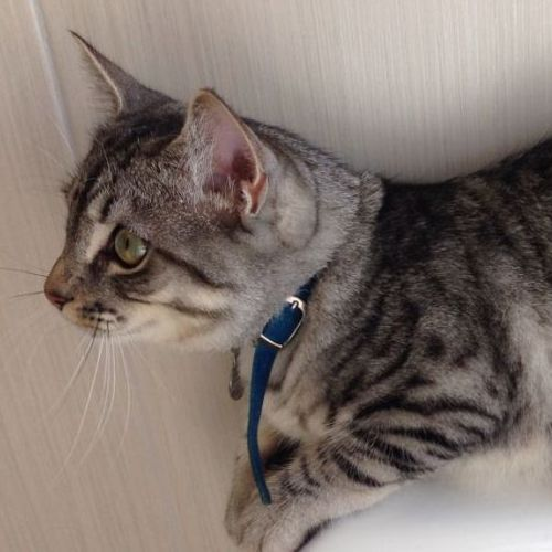 LOST Toby http//ow.ly/D05sE Male, Grey, DSH Glenroy