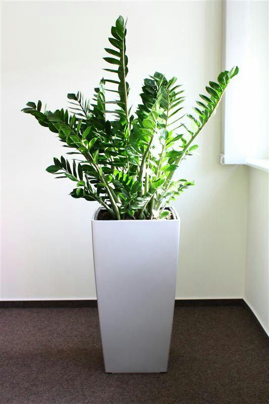 Vous aimez c 39 est le zamioculcas la plante du mois de for Accessoire plante interieur