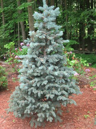 Baby Blue Eyes Spruce Picea Pungens Glauca Baby Blue Eyes Slow Growing 2 3 Per Year Height 10 15 Width 8 Picea Pungens Picea Pungens Glauca Blue Spruce
