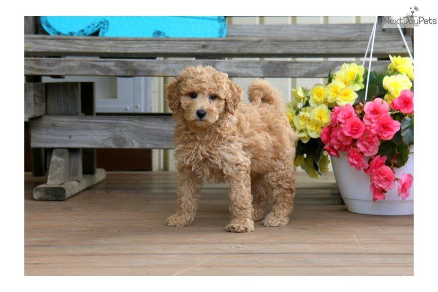 Goldendoodle puppy for sale near lancaster pennsylvania