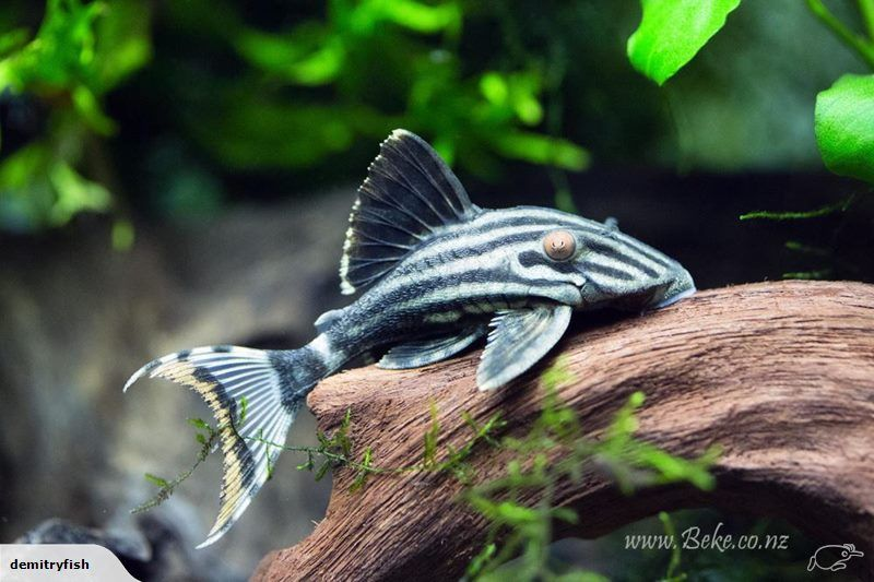 The Royal Pleco Has Many Different Common Names In English Including Royal Plec Royal Panaque And Royal Catfish On Tradem Nz From Demitry Fish