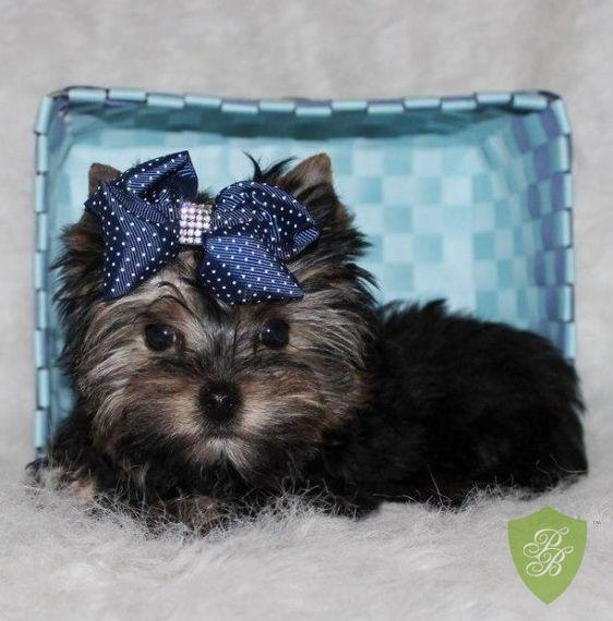 Puppies For Sale Washington Yorkie Breeders Yorkie Breeders