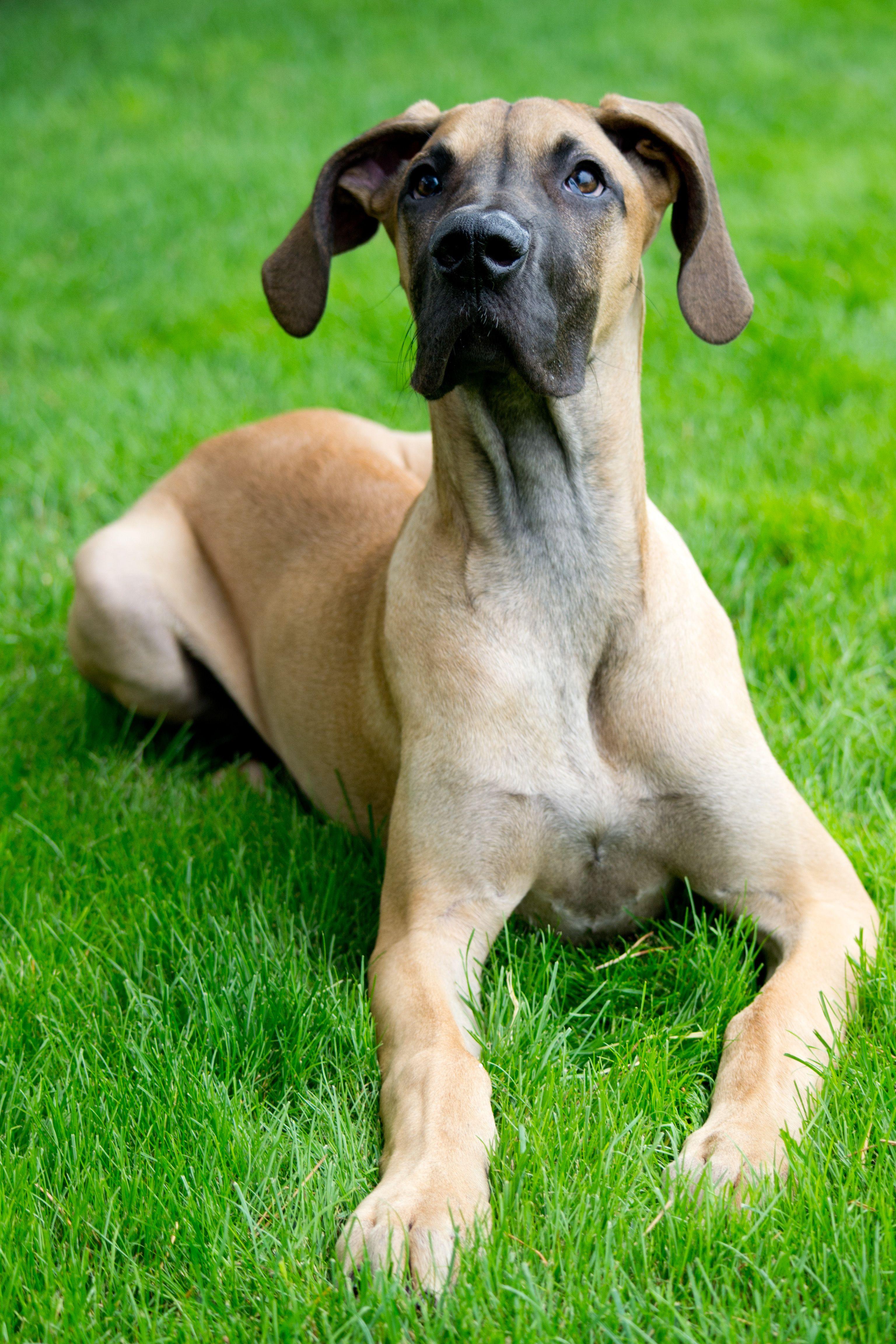 Greatdane Dogs Great Dane Great Dane Rescue Big Dogs
