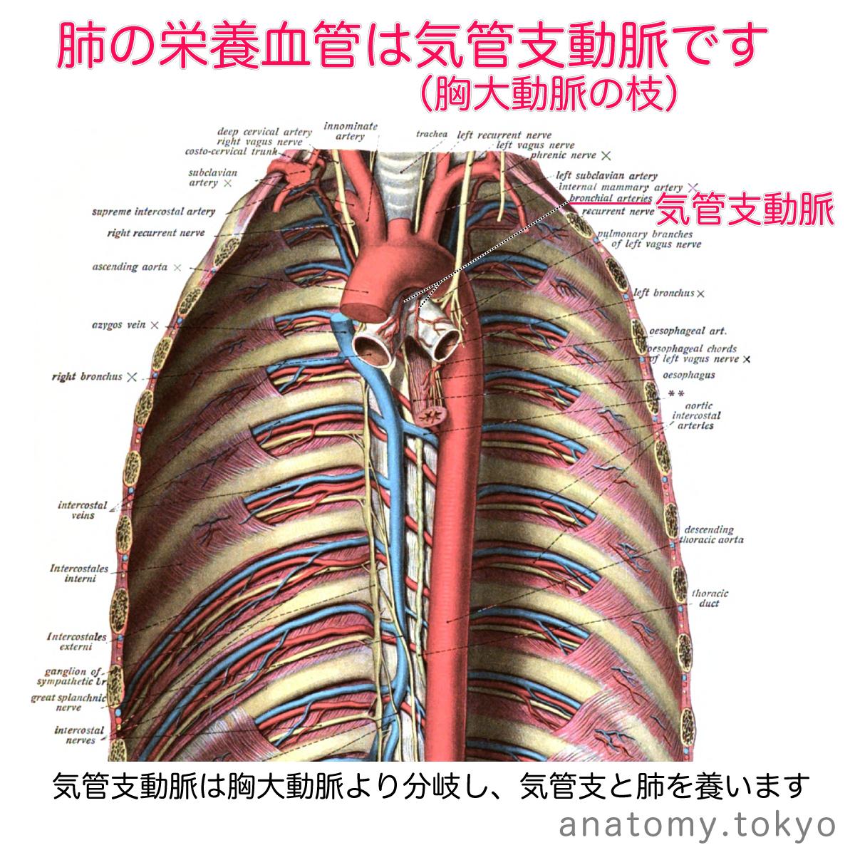 肺の栄養血管は( 動脈)である (解答) 気管支動脈 肺の栄養血管は ...