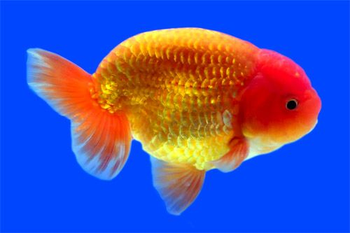 Ranchu Goldfish are known as King of Goldfish in Japan. They are expensive and not so easy too keep.  #Fish  #Goldfish  #Ranchu