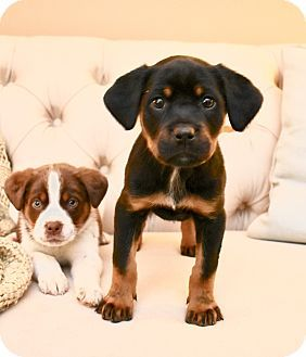 Hagerstown Md Rottweiler Brittany Mix Meet Penny A Puppy For