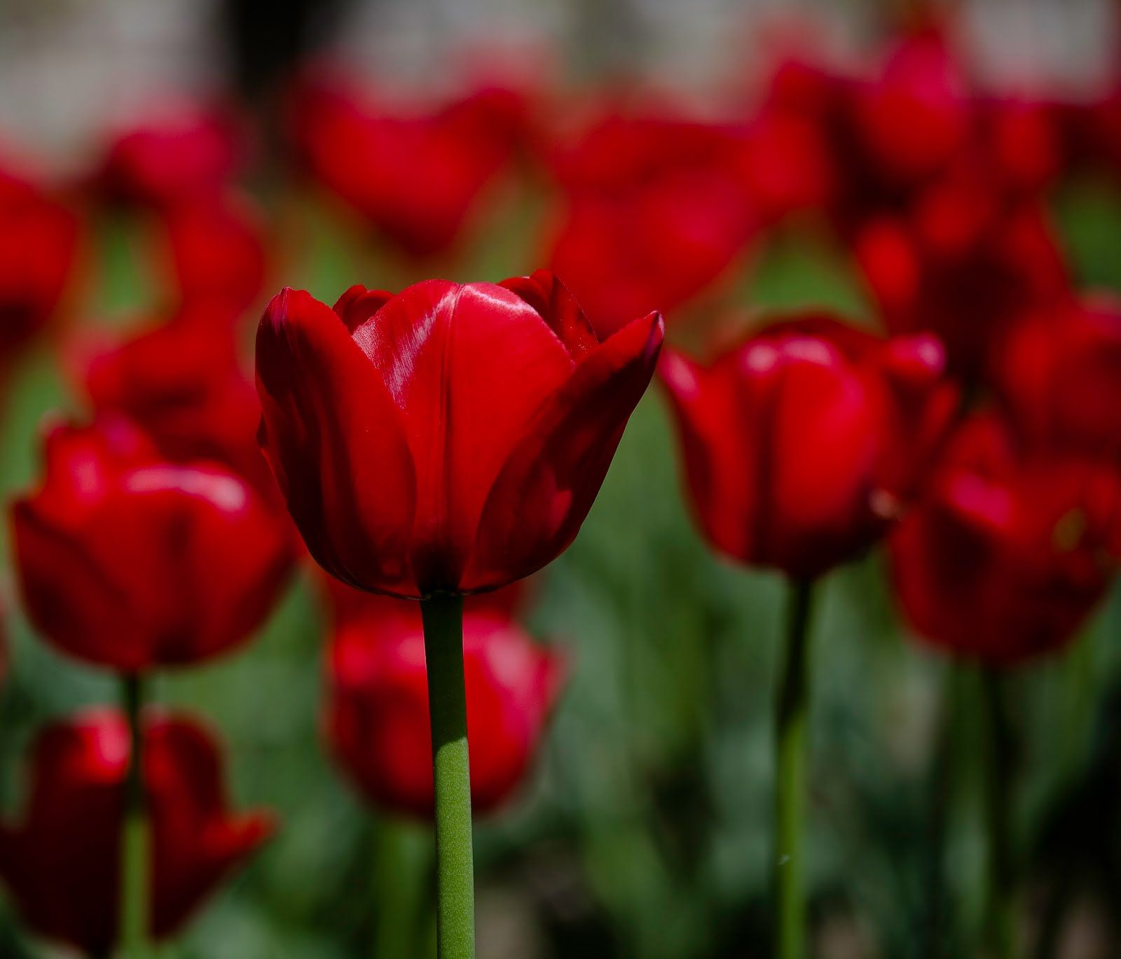 Tulip Wallpaper: Dark Red Tulips Wallpaper HD Wallpaper