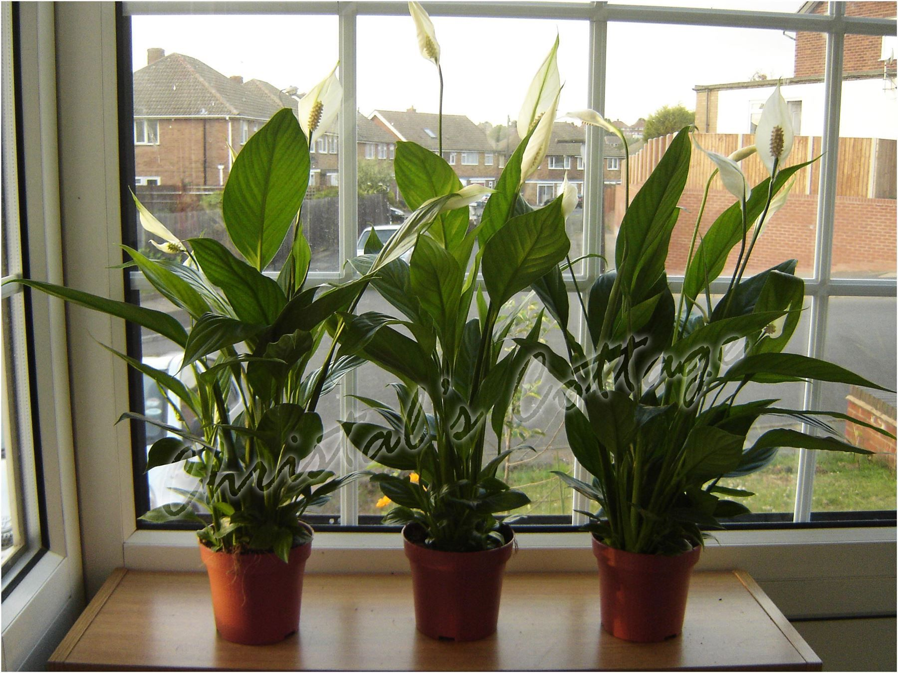 1 Peace Lily Spathiphyllum Indoor House Plant In Pot Air Cleaner Freshener Ebay