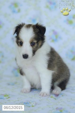 Shetland Sheepdog Energetic And Playful Sheltie Puppies For Sale Sheltie Puppy Sheep Dog Puppy