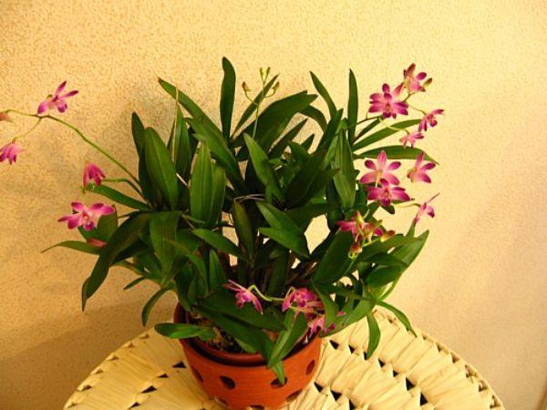 Dendrobium, puikkokämmekkä