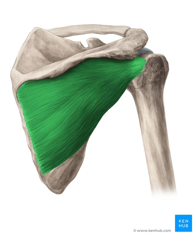 Pin by Ali Hassan Ali Aldraie on تشريح | Pinterest | Anatomy