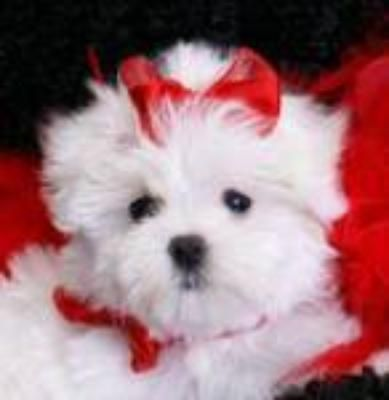 Tea Cup Puppies Fl Tea Cup Free Maltese Puppies For Adoption