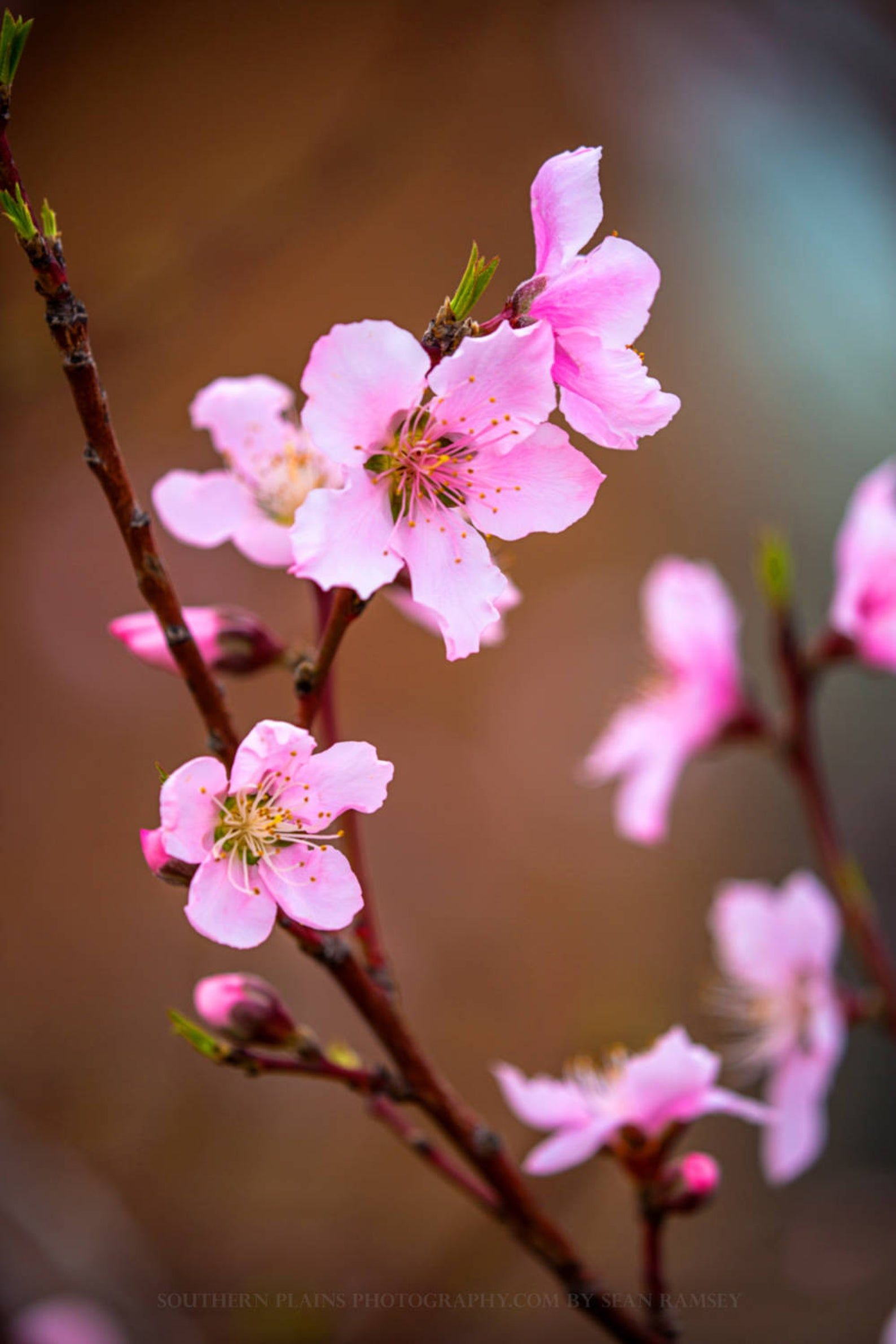 Floral Photography Print Vertical Picture Of Pink Peach Blossoms On Spring Day In Oklahoma Nature Flower Photo Artwork Decor In 2021 Floral Photography Peach Blossoms Wildflowers Photography