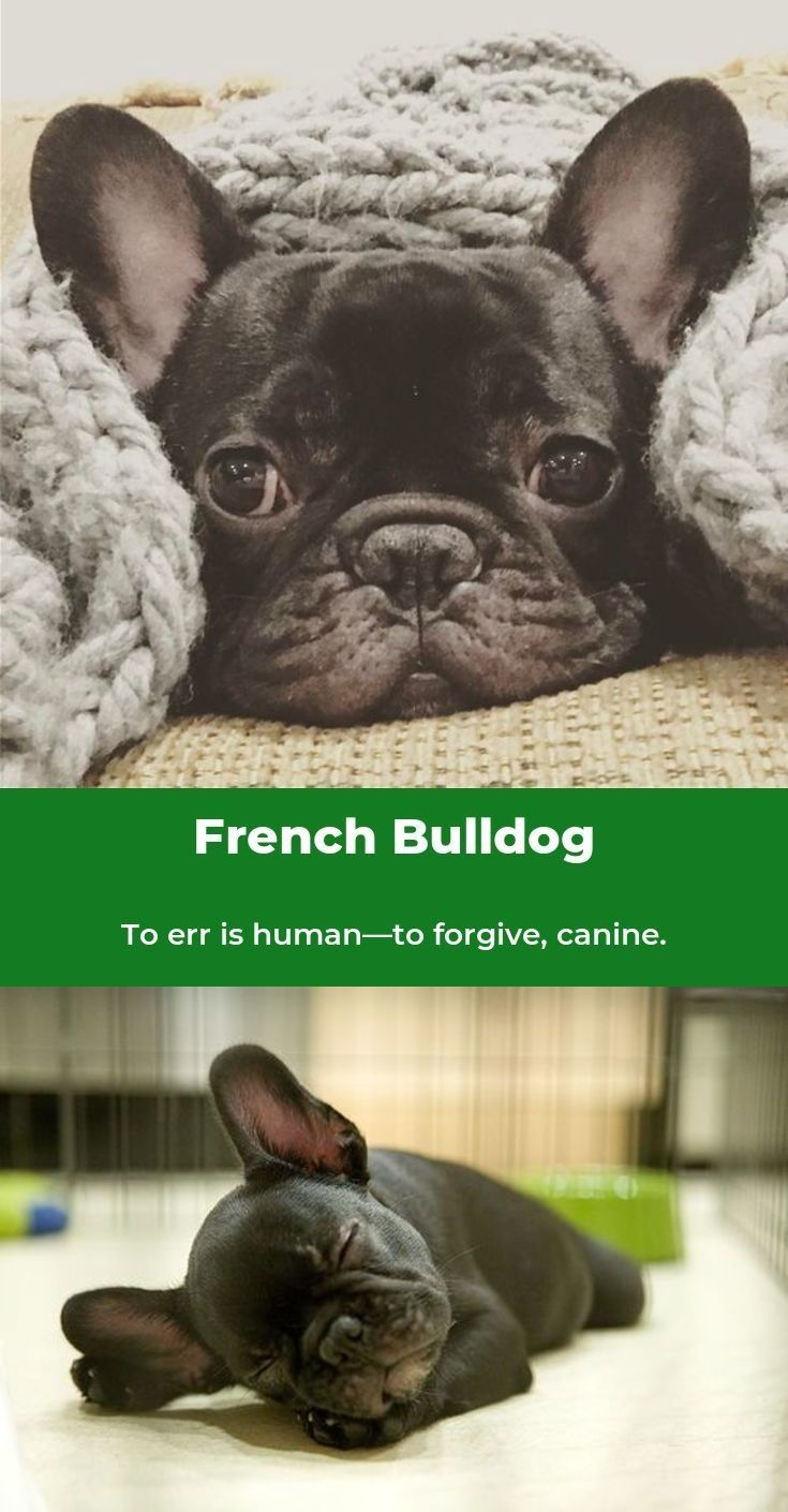 French Bulldog Playful And Smart French Bulldog I Love Dogs