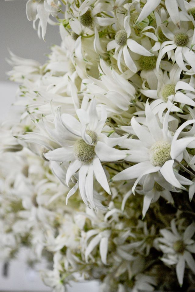 Flannel Flower Gorgeous Flannel Flower Happy Flowers Wedding