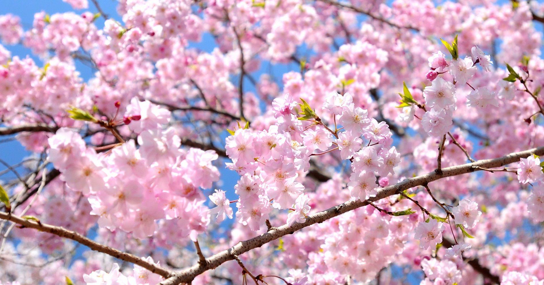 Anime Sakura Cherry Blossoms Hanami Season Cherry Blossom Japan Sakura Cherry Blossom Sakura