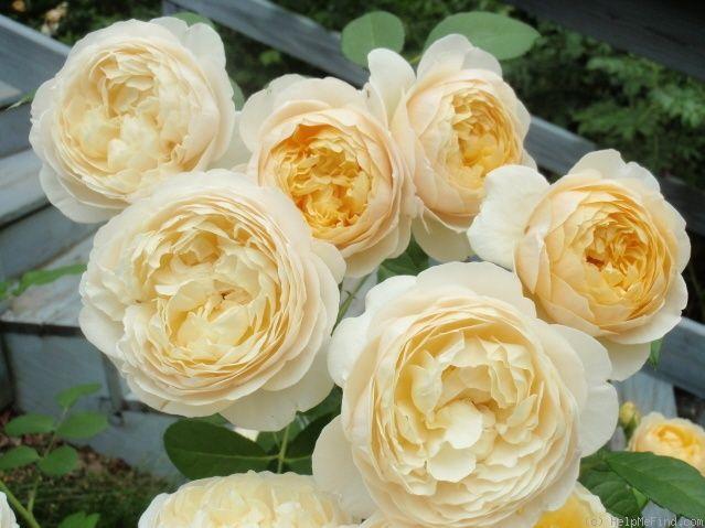Charlotte Shrub Austin 1994 Rose Hedge Orange Flowers Yellow Roses