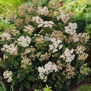 Viburnum tinus fast growing and very hardy an evergreen rounded evergreen rounded shrub wclusters of tiny white flowers in winter prefers full sun to part shade cold tolerant drought hardy once established mightylinksfo